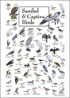 Sanibel & Captiva Birds. waterfowl identification chart - Google Search