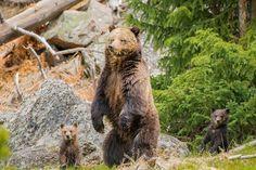 Bear, predator, family, furry animals wallpaper