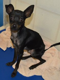 Chihuahua dog for Adoption in Bryan, TX. ADN-745201 on PuppyFinder.com Gender: Male. Age: Baby