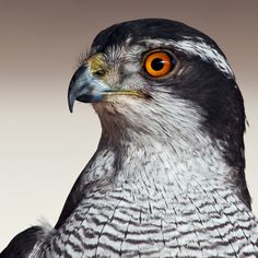 Northern Goshawk (Accipiter gentilis) | by Steve Liptrot Photography