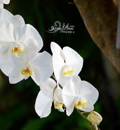 White Orchid Still Photography, White Orchids, Plants, Planters, Plant, Planting