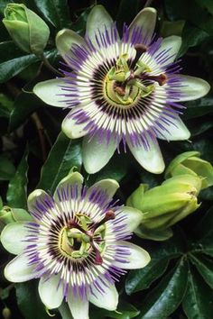 ~~ Passiflora caerulea ~~ Believe it or not I grow these in Arizona! Bought online from Florida a few years ago, soon to be making passion oil as well as passion preserves. More to come!
