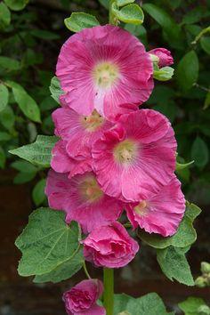 All Flowers, Amazing Flowers, Beautiful Flowers, Hollyhocks Flowers, Watercolor Flowers, Beautiful Gardens, Hibiscus, Flower Art, Flower Power