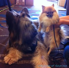 Norman likes #BabyPom at #BlogPaws #BlogPawsQuotes