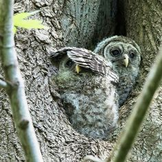adorable babies. .!! Credit : @wmckenziephotography -  Hey you're blocking my view! Baby Barred Owls - first peek out of nest. For info about promoting your owl art or crafts send me a direct message @owl.gifts or emailowl-gifts@outlook.com  . Follow @owl.gifts for beautiful and inspiring owl images and videos every day! .  #owl #owls