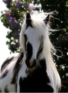 Casual Loves Elegance colorful Gypsie-Vanner or Irish cob.  The most gorgeous horse I have seen!