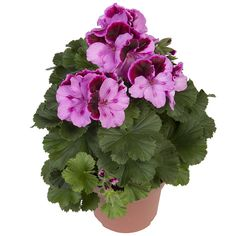 Jolenta  #franse #geranium #edelgeranie #regal #pelargonium #garden #plants #flowers