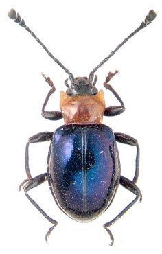 Endomychidae gen. sp. / INDONESIA