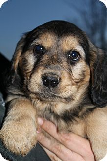 32 Best Golden Rotti Shepherd Best Dog Ever Images Best Dogs
