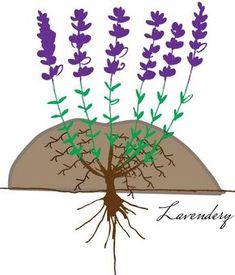 feltöltéses bujtás - levendula szaporítás Organic Gardening, Gardening Tips, Dream Garden, Home And Garden, Lavandula, Outdoor Parties, Wedding Party Favors, Medicinal Plants, Garden Crafts
