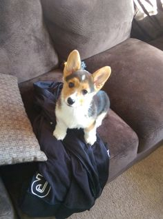 The Internet's visual storytelling community. Explore, share, and discuss the best visual stories the Internet has to offer. Corgi Dog, Beagle, Cowboy Corgi, Corgis, I Love Dogs, Best Dogs, Storytelling, Funny Jokes, Creatures
