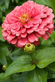 Zinnias: The Hardest-Working Flower in the Summer Garden Zinnia Garden, Zinnia Elegans, Chicago Botanic Garden, Types Of Flowers, Amazing Flowers, Garden Planning, Lawn And Garden, Garden Inspiration, Backyard Landscaping