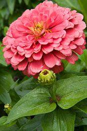 Zinnias: The Hardest-Working Flower in the Summer Garden
