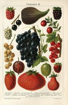 """1894 FRUITS GRAPE STRAWBERRY FIG CURRANTS GOOSEBERRY Antique Chromolithograph Print.  Original old German colour chromolithograph print with a tissue guard/book plate(not a modern reproduction)comes from a German lexicon.     The print has been printed by Bibliographisches Institut Leipzig,Germany in 1894.     Very decorative.It looks great when framed.     The overall size of this print with margins approx 9 3/4"""" x 6 1/2"""".  Sold $13.25"""