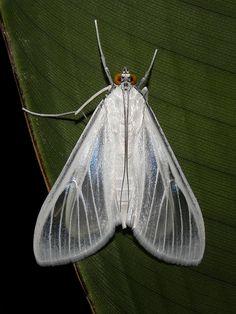 Polilla blanca / White moth (Palpita flegia)