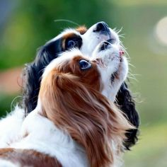 The Cavalier King Charles Spaniel is a direct descendant of the King Charles Spaniel and is named after King Charles II. King Charles Puppy, Cavalier King Charles Dog, King Charles Spaniel, Cute Puppies, Dogs And Puppies, Animals And Pets, Cute Animals, Cute Dogs Breeds, Love Pet