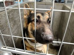 #FOUNDDOG 1-4-14 #VANNUYS #CA ID:  A1446013 NEUTERED MALE BLACK & TAN #GSD #GERMANSHEPHERD 2 YEAR OLD 80 LBS 888-452-7381 https://www.facebook.com/photo.php?fbid=745138038829711&set=a.650994674910715.1073741825.160376660639188&type=1