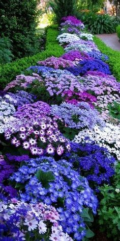 Cineraria They like cool weather. Don't think I can grow them here but will use another plant for this color combination. Love it.