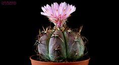 """Echinocactus horizonthalonius """"lightning emperor""""   by Nyxtofulakas"""