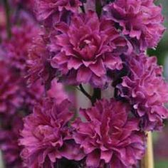 Delphinium 'Flamenco' plug plants from Thompson & Morgan - experts in the garden since 1855 Delphinium Plant, Delphiniums, Cottage Garden Plants, Garden Shrubs, Beautiful Gardens, Beautiful Flowers, Biennial Plants, Hardy Perennials, Live Plants