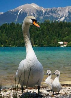Valokuva One of the Most Graceful . but Dangerous Birds Alive---The Parent Swan---They're Just Pretty Geese Pretty Birds, Beautiful Birds, Animals Beautiful, Beautiful Swan, Animals And Pets, Baby Animals, Cute Animals, Cygnus Olor, Swans