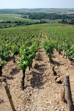 Chablis Vineyards in France