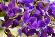 Sweet violet seeds aubrieta by Magicgreekgarden on Etsy, €1.00