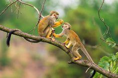 posted a photo: Two common squirrel monkeys (Saimiri sciureus) playing on a tree branch Kunming, Chimpanzee, Orangutan, Los Primates, Types Of Monkeys, Monkey Types, Heide Park, New World Monkey, Disneyland