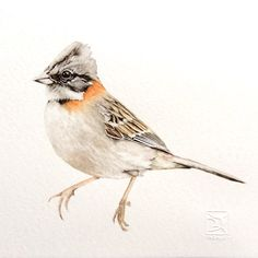 CHINCOL WATERCOLOR Lorena Fröhlich M Watercolor Pictures, Watercolor Bird, Watercolor Animals, Botanical Drawings, Botanical Art, Bird Drawings, Cute Drawings, Rio Grande Do Sul, Bird Sketch