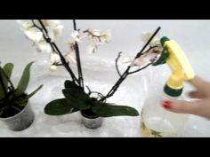 Чем и как я обрабатываю свои орхидеи после покупки в магазине. - YouTube