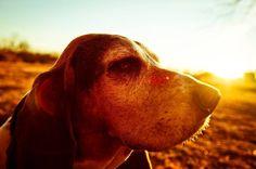Gus the #bassethound posing for dad on the farm.... I love him and how about that sunset!?  My buddy my pal my friend  #brownfootbear #brownfootbearphotography #photography #gunnarwilliamsphotography #gunnwilliams #dog #dogs #dogsofinstagram #dogoftheday #woof #mustlovedogs #withdog #love #boyandhisdog #KansasCity #kc #Kansas #ks #kansasphotos #summer #art #dogart #dogphotography #petphotography #sunset  #basset #hound #mybuddymypalmyfriend #doggiebff