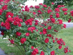 Full size picture of Hybrid Rugosa Rose 'Linda Campbell' (Rosa) Shrub Roses, Garden Landscaping, Shrubs, Red Roses, Seeds, Tropical, Landscape, Nature, Flowers