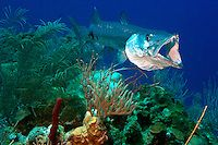 Half Moon Caye, Lighthouse Reef, Belize, May 2012. A Barracuda lies in ambush/ Belize offers a great variety of reef types and diving & snor...
