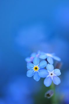 this was actually the inspiration for my tattoo for my brother.  Forget-me-not flowers.  so pretty.