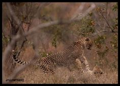 Cheetahs providing some entertainment with a wrestling match! http://outlook.co.za/6day-kzn-safaris.html