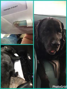 Knie operatie Benji. Labrador Retriever, Dogs, Animals, Labrador Retrievers, Animales, Animaux, Pet Dogs, Doggies, Animal
