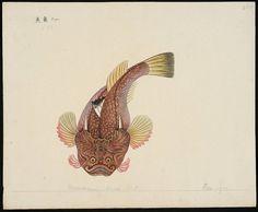 Uranoscopus asper Schl [Uranoscopus asper Temminck & Schlegel, 1843] by peacay, via Flickr