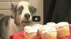 SO FUNNY hahaha Dramatic Cupcake Dog (If Only We All Had This Willpower!) | via @SparkPeople #video #humor #pets