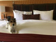 Biscuit the wonder dog approves of the fantastic accommodations at Topnotch Resort in Stowe, VT.