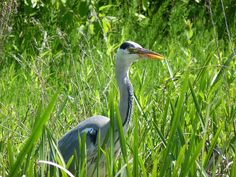Heron. by Bmc1991., via Flickr  My own photography. Heron, Explore, Bird, Photos, Photography, Animals, Pictures, Photograph, Animales