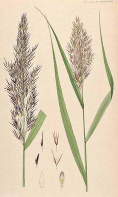 Common Reed - (Phragmites australis (Cav.) Trin. ex Steudel