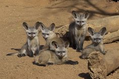"""With ears like that, we bet these Bat-eared Foxes can hear you """"awww-ing"""" over their cuteness from miles away! (photo: San Diego Zoo)"""