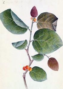 http://ayurveda-in-hindi.blogspot.com/2016/01/banyan-tree.html