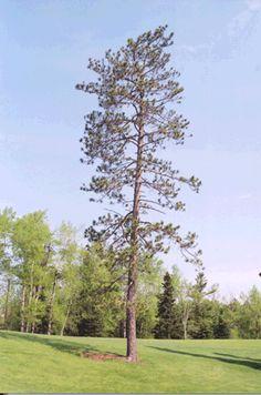 Minnesota Office of the Secretary of State : State Tree