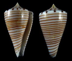 Conus hirasei Kuroda, 1956  Philippines. Balut island. tangle nets at 100 to 150 meters deep .  Excellent pattern much sought after with unbroken lines. Unfortunate big chip on the upper lip otherwise fantastic specimen.