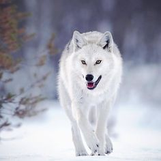 Stop Killing Wolves! — Wolves in the Great Bear Rain forest carry more. Wild Animals Pictures, Wolf Pictures, Animal Pictures, Wildlife Nature, Nature Animals, Eurasian Wolf, National Geographic, Wolf Walking, Wolf Poses