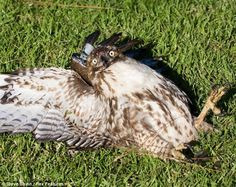 Fat hawk down! This juvenile hawk ate a whole coot then couldn't fly away. Click to read the whole article. Spoiler: hawk recovered the next day.