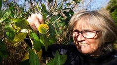 Linda Newstrom-Lloyd is delighted to see the bee-worthy Edgeworthia gardneri in flower.