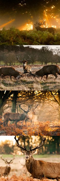 The deer of Richmond Park, as captured by Niall O'Laoire.