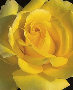 Hotel California - HT, medium yellow, 30 petals, 2001, rated 7.1 (average) by ARS.
